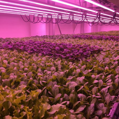 Insalate di Agricola Moderna coltivate con luci a led